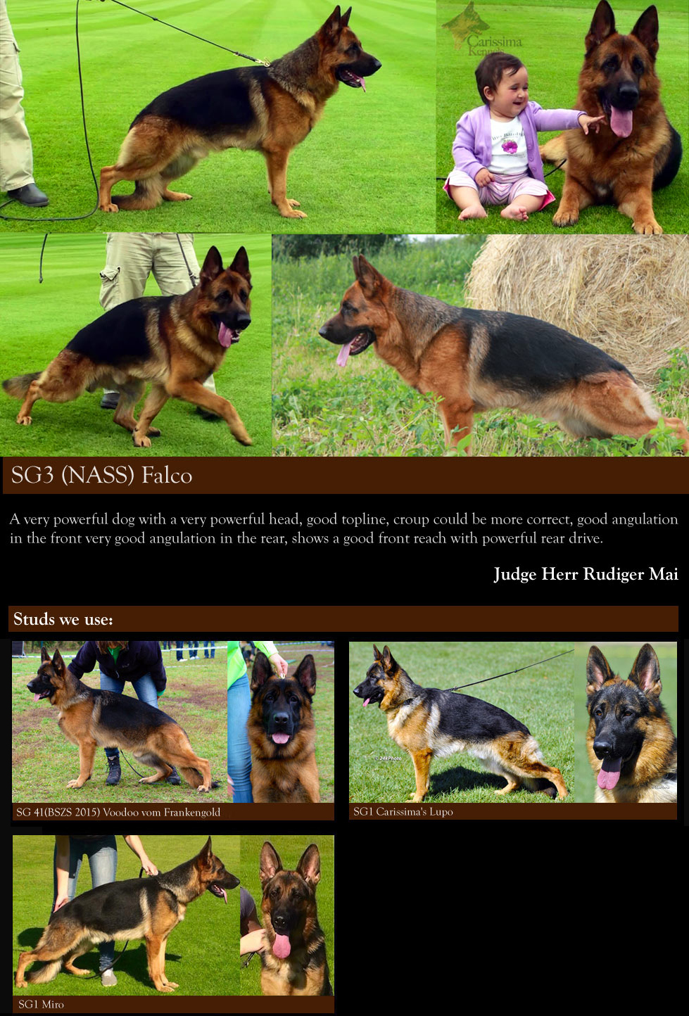 german shepherd males