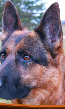 German Shepherd Breeders Ontario German Shepherd Puppies